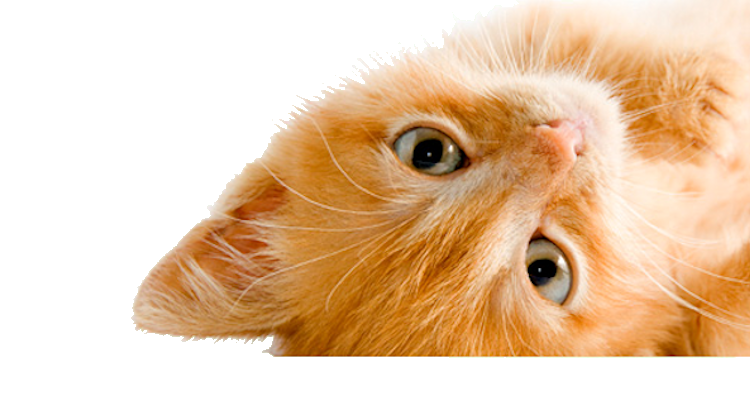 Kitten injections cat boosters and treatment at home, mobile vet.